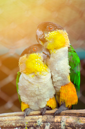 flying kiss: Couple of parrots on a branch in love
