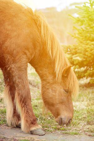 icelandic: Icelandic horse grazing