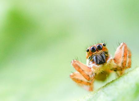 salticidae: Salticus scenicus jumping spider