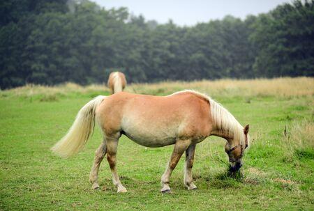 grazing: Horse grazing on field