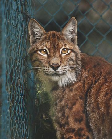 catlike: Linx portrait