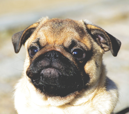 carlin: Cute pug puppy portrait