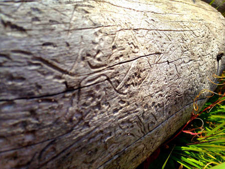 Wood carvings created by pine wood beetles in Yellowstone