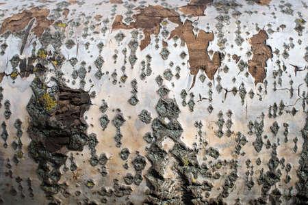 Background from poplar bark. Texture of bark of a tree. Фото со стока