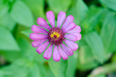 osteospermum: Close up of beautiful purple chrysanthemum flower with green background.