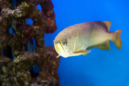 Arowana in aquarium, this is a favorite fish with long body, beautiful dragon shape colorful for decoration in the aquarium in the rich family. Stock Photo