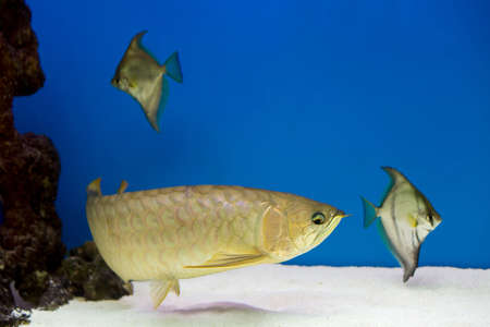 Arowana in aquarium, this is a favorite fish with long body, beautiful dragon shape colorful for decoration in the aquarium in the rich family. monodactyls in the background