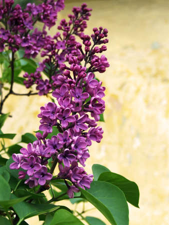 Lilac flower in full bloom in my garden photo