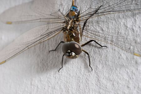 dragonfly wing: Macro shoot of dragonfly sitting at the white wall
