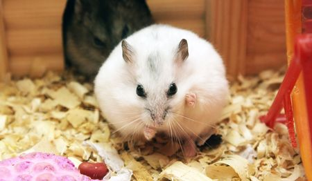 dwarf hamster: dwarf hamster female in the foreground, the background male dwarf hamster