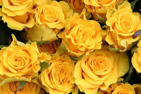 rosebush: lot of yellow roses