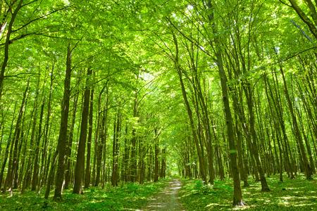 Sommer Natur. Pfad im grünen Wald