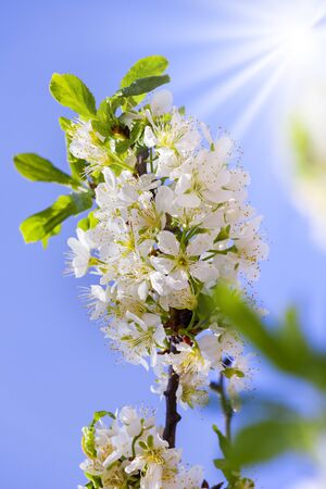 Cherry blossoms. Branch with flowers on a background of blue sky. Stock Photo