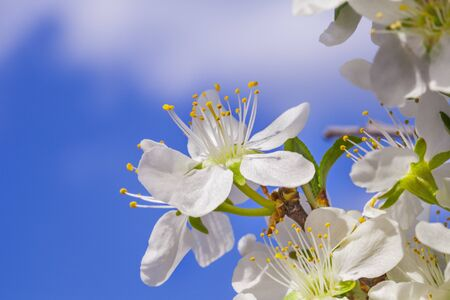 Apricot blossoms. Branch with flower on a background of blue sky. Stock Photo