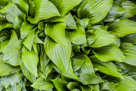 Nature. background with green leaf hosta in spring