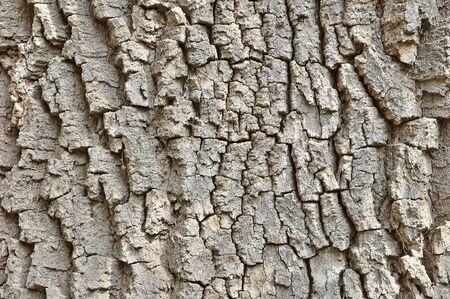 Rough cracked textured oak bark closeup background photo