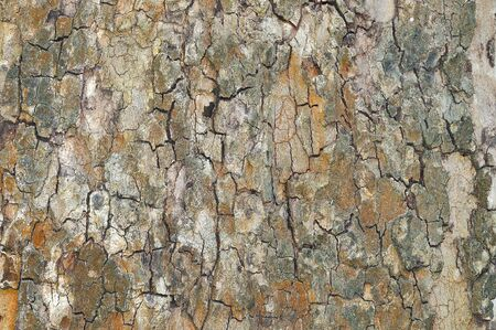 birch bark: Rough cracked textured oak bark background closeup