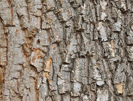 Rough cracked textured oak bark background closeup photo