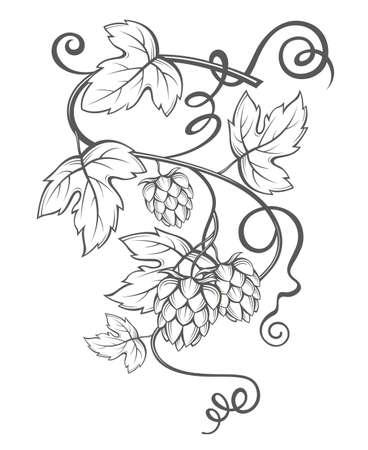 hop plant: illustration of hops for brewing