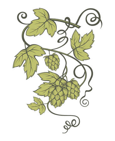 plant to drink: illustration of hops for brewing
