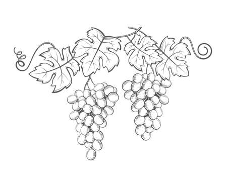 fall leaves: Image of grapes with bunches and leaves