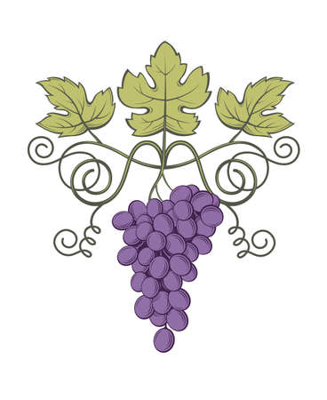 berry: Image of grapes with bunches and leaves