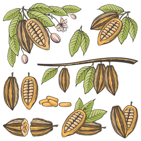 collection of cocoa beans, branch and leaves isolated on white background