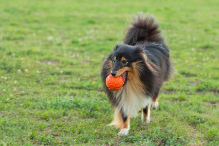 sheltie: Sheltie playing with orange ball Stock Photo