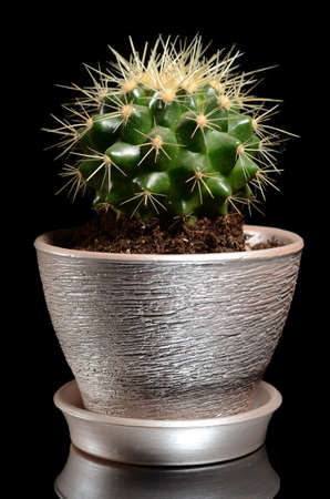 Cactus in a pot isolated on black Stock Photo