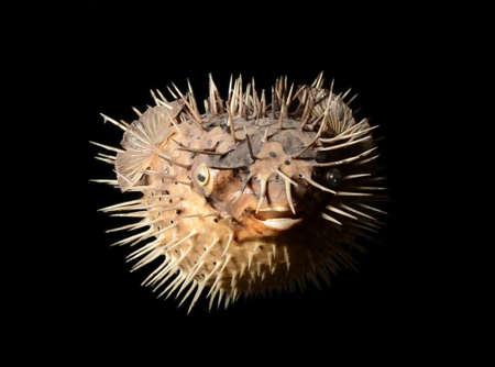 sea-urchin isolated on black