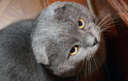 Scottish fold grey cat Stock Photo