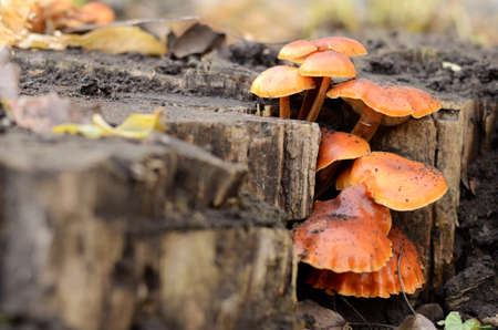 Honey fungus on the stump, beautiful orange mushrooms Stock Photo