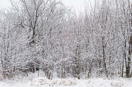 Snowy bare trees in a dense grove Stock Photo - 16799625