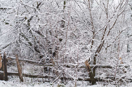 Snowy bare trees in a dense grove with old broken fence Stock Photo - 16799622