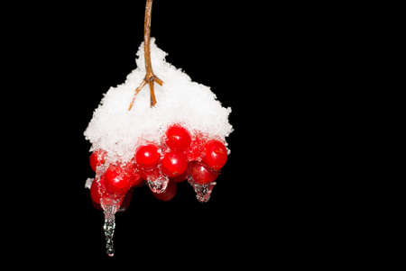 bunchy: Berry guelder-rose red with snow isolated on black