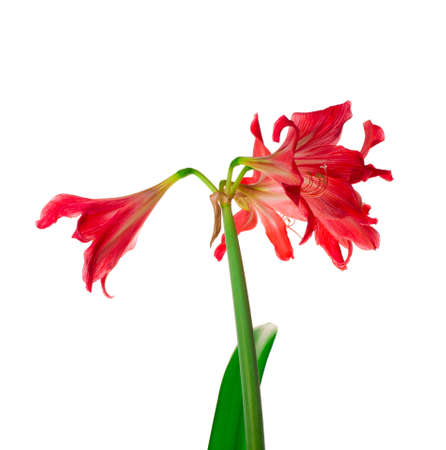 Red lily flowers isolated on white background Stock Photo - 17156835