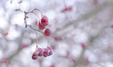 Red berries covered with ice
