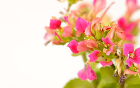 Background with kalanchoe flower