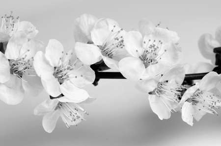 spring blossom in black and white photo