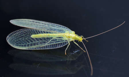 Chrysopidae-insecto Lacewing Verde photo