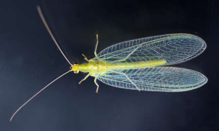 chrysoperla: Chrysopidae-insect Green Lacewing