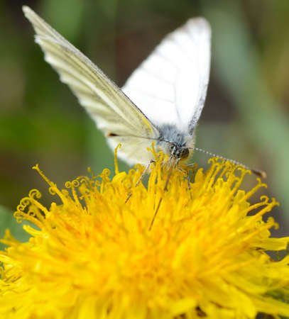 butterfly pollinating yellow dandelion and drinking nectar photo