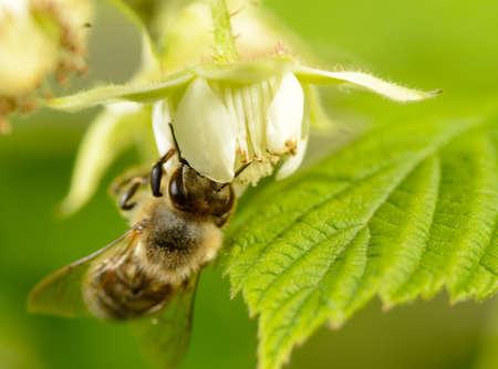 bee on flower of raspberry