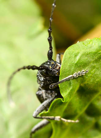 Macro beetle of family Cerambycidae