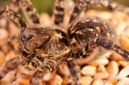 Tarantula spider macro Zdjęcie Seryjne