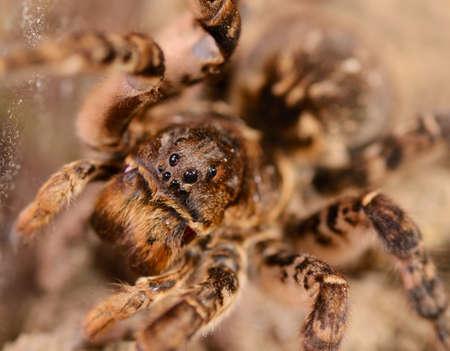 Tarantula spider macro