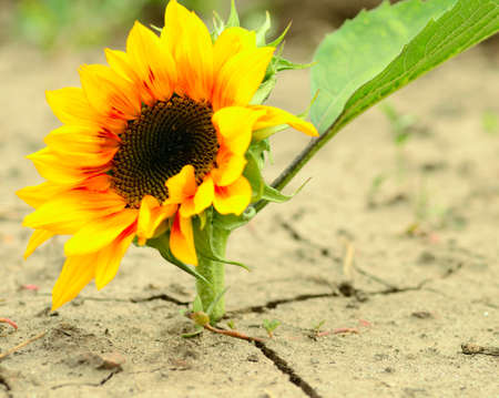 sunflower on a cracked ground photo