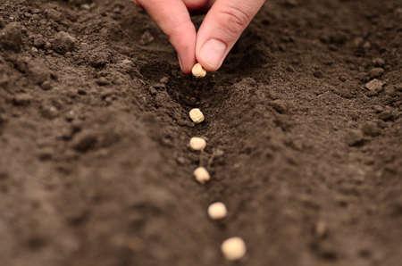 bean plant: sembrar