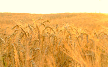 Wheat field in rays of rising sun photo