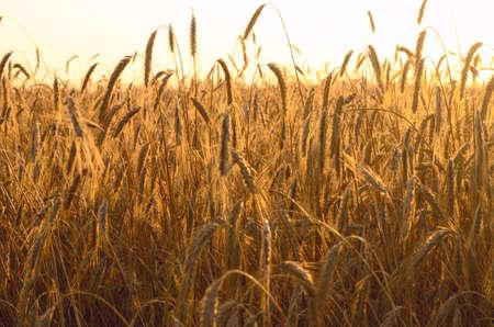 Wheat field in rays of rising sun